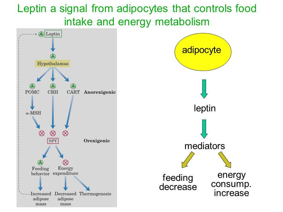 Leptin a signal from adipocytes that controls food intake and energy metabolism leptin mediators feeding decrease energy consump.