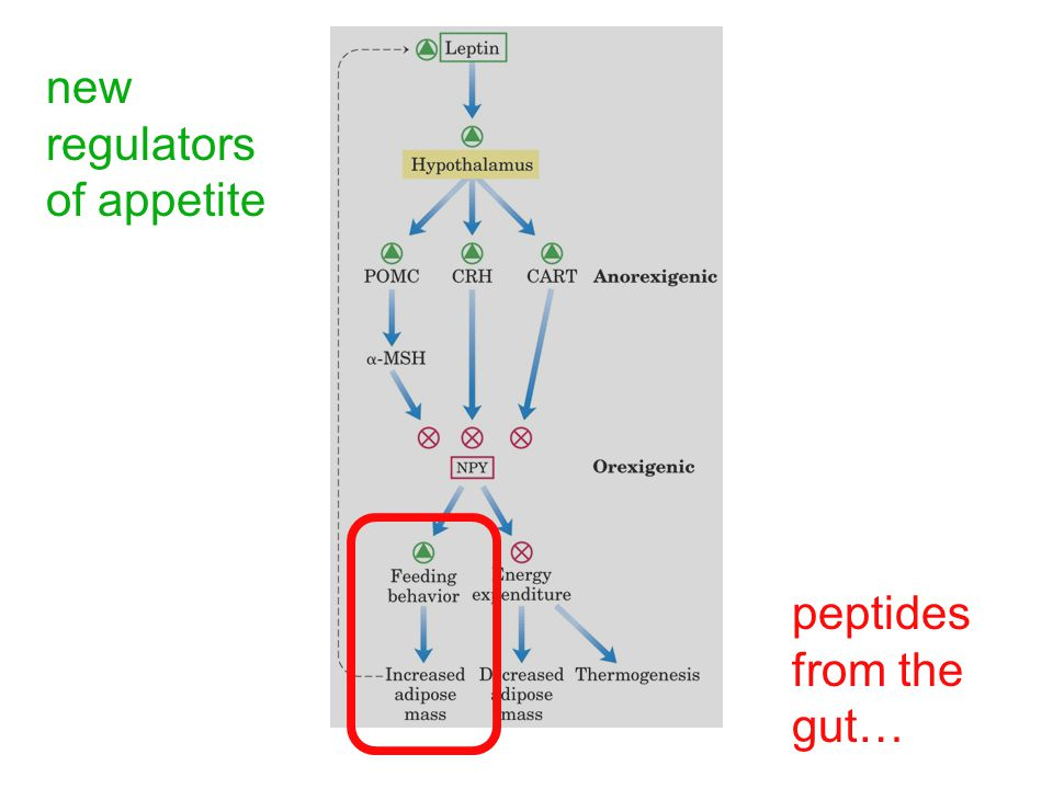 new regulators of appetite peptides from the gut…