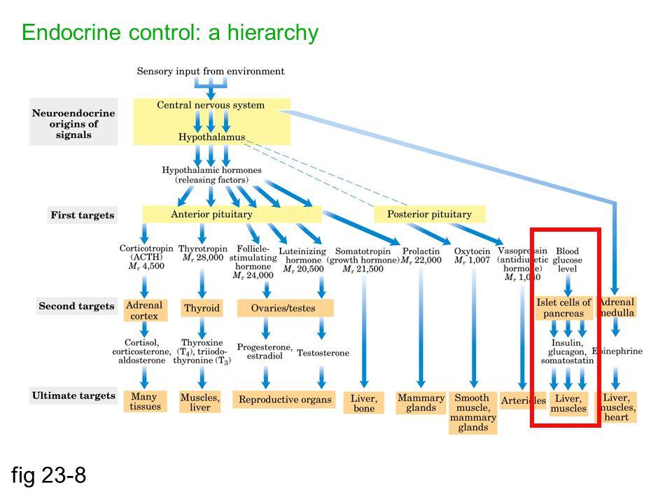 Endocrine control: a hierarchy fig 23-8