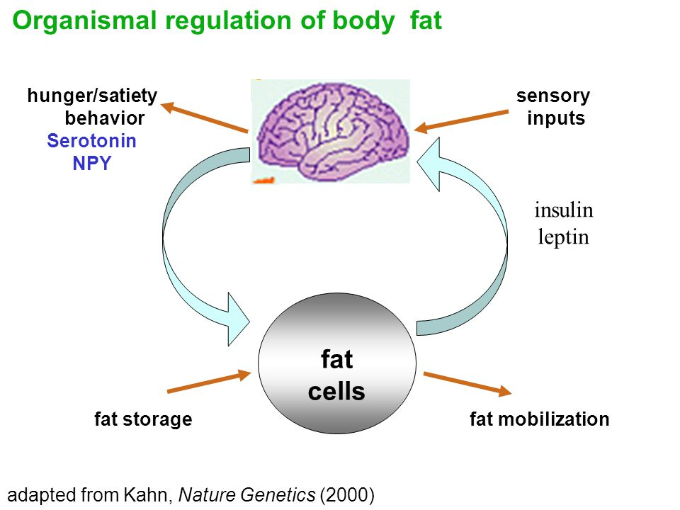 adapted from Kahn, Nature Genetics (2000) sensory inputs hunger/satiety behavior Serotonin NPY fat storagefat mobilization fat cells insulin leptin Organismal regulation of body fat