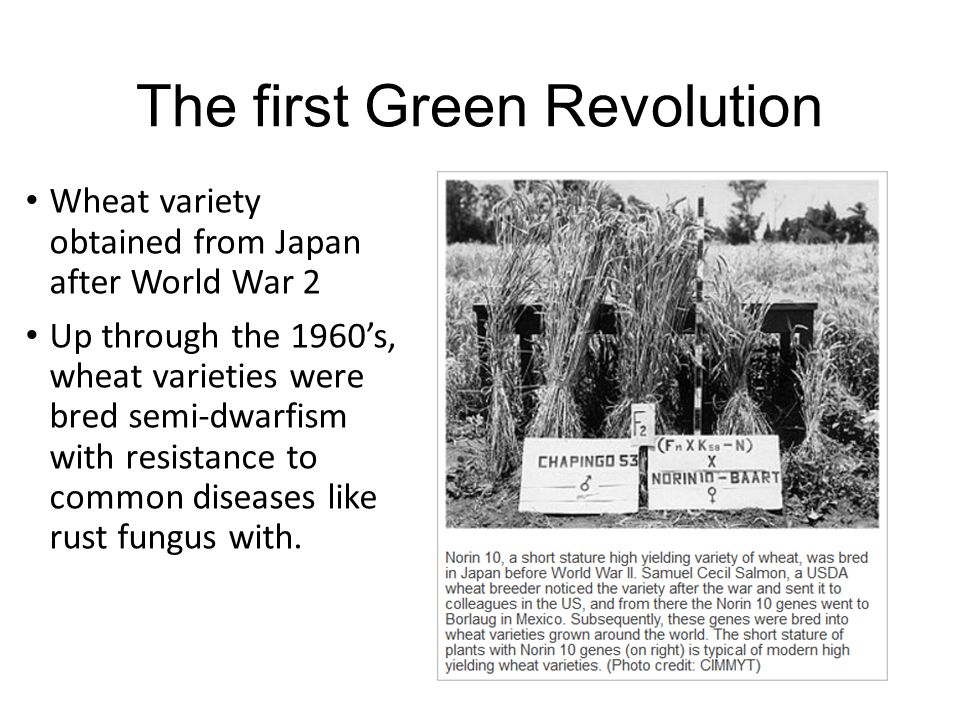The first Green Revolution Wheat variety obtained from Japan after World War 2 Up through the 1960's, wheat varieties were bred semi-dwarfism with resistance to common diseases like rust fungus with.