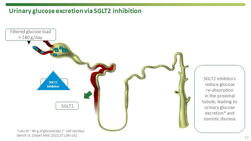 *Loss of ~ 80 g of glucose/day (~ 240 cal/day). Gerich JE. Diabet Med. 2010;27:136–142. Urinary glucose excretion via SGLT2 inhibition 23 SGLT2 SGLT2