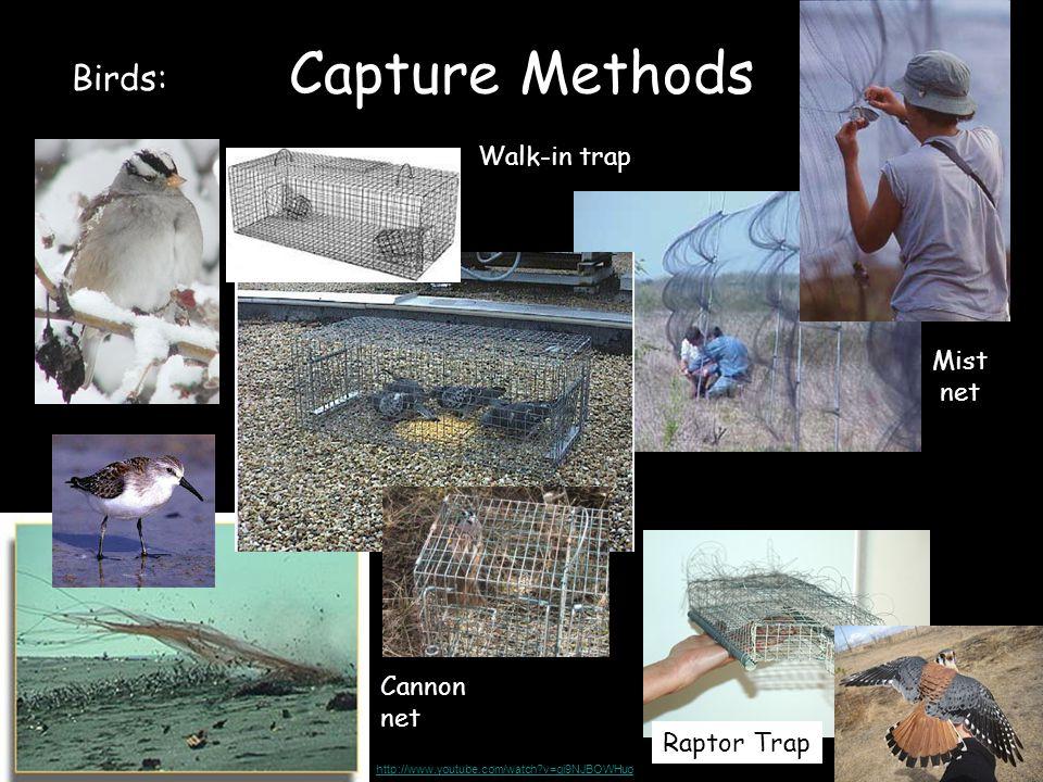 Capture Methods Birds: Mist net Cannon net Raptor Trap Walk-in trap http://www.youtube.com/watch?v=gi9NJBOWHuo