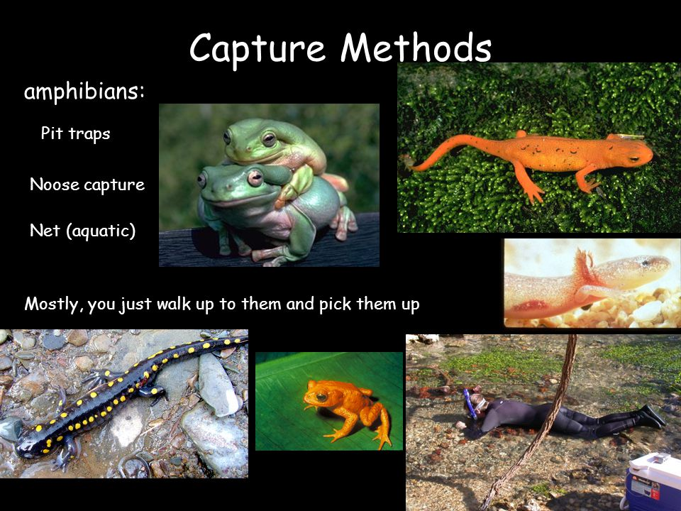 Capture Methods amphibians: Pit traps Noose capture Mostly, you just walk up to them and pick them up Net (aquatic)