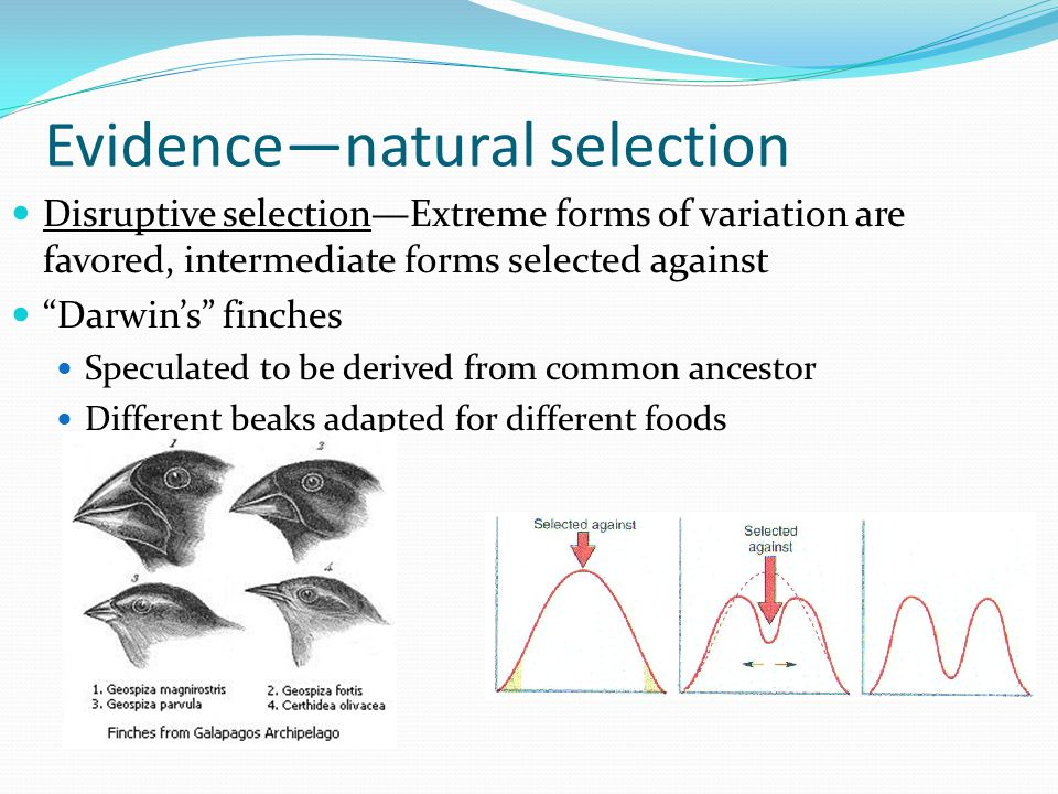 """Evidence—natural selection Disruptive selection—Extreme forms of variation are favored, intermediate forms selected against """"Darwin's"""" finches Specula"""