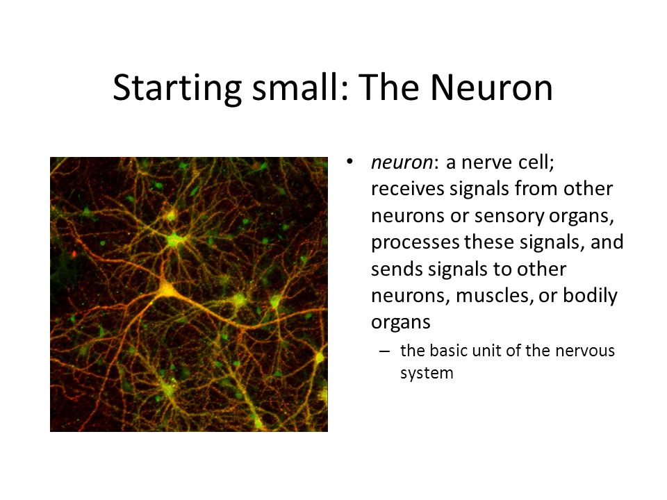 The Neuron 3 types of neurons: – 1.
