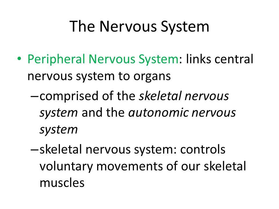 The Nervous System Peripheral Nervous System: links central nervous system to organs – comprised of the skeletal nervous system and the autonomic nerv