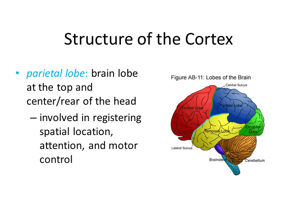 Structure of the Cortex parietal lobe: brain lobe at the top and center/rear of the head – involved in registering spatial location, attention, and mo