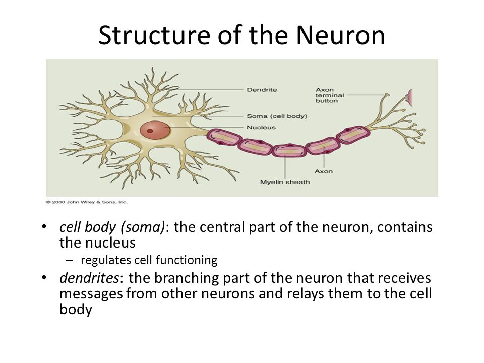 Structure of the Neuron axon: the long, cable-like extension that delivers messages to other neurons myelin sheath: layer of fatty tissue that insulates the axon and helps speed up message transmission – multiple sclerosis: deterioration of myelin leads to slowed communication with muscles and impaired sensation in limbs knobs: structure at the end of one of the axon's branches that releases chemicals into the space between neurons, when the neuron is fired