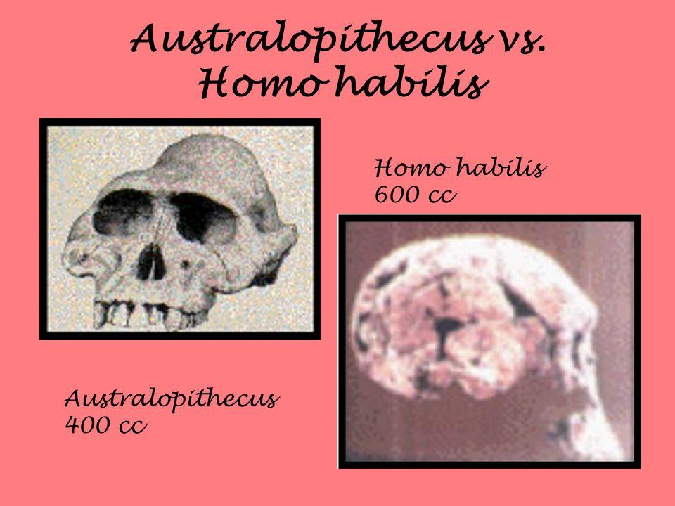 Australopithecus vs. Homo habilis Australopithecus 400 cc Homo habilis 600 cc