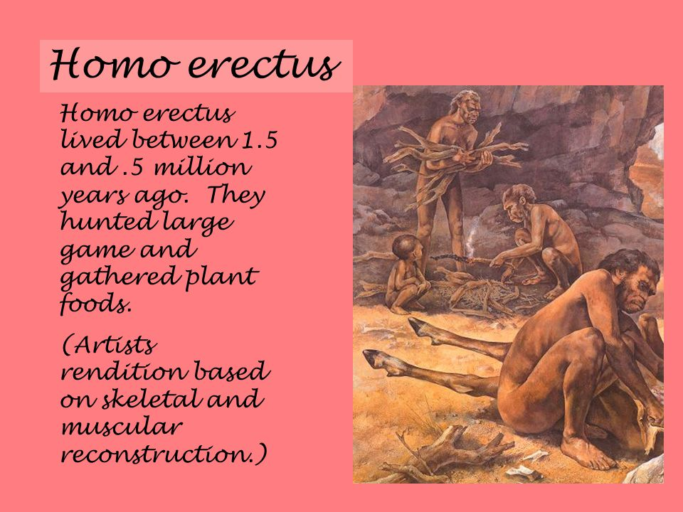 Homo erectus Homo erectus lived between 1.5 and.5 million years ago.