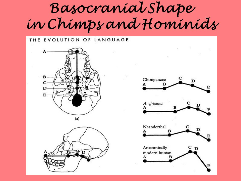Basocranial Shape in Chimps and Hominids