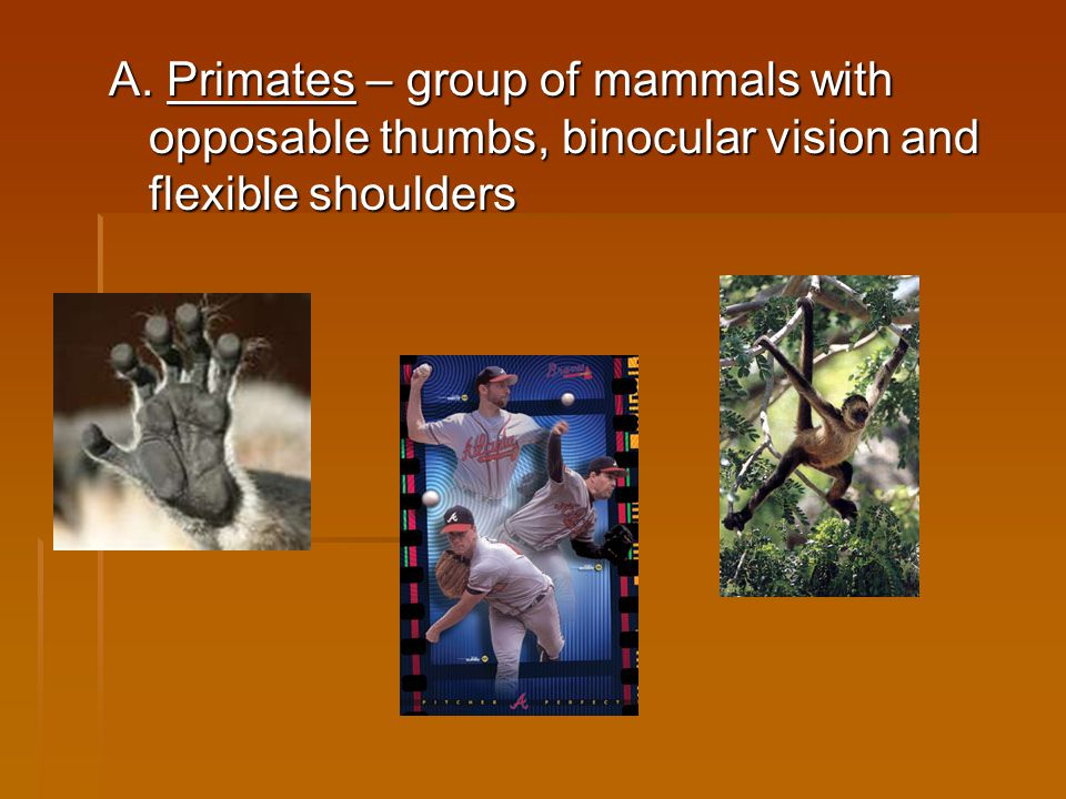 A. Primates – group of mammals with opposable thumbs, binocular vision and flexible shoulders