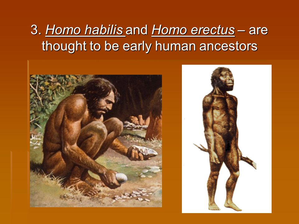 3. Homo habilis and Homo erectus – are thought to be early human ancestors