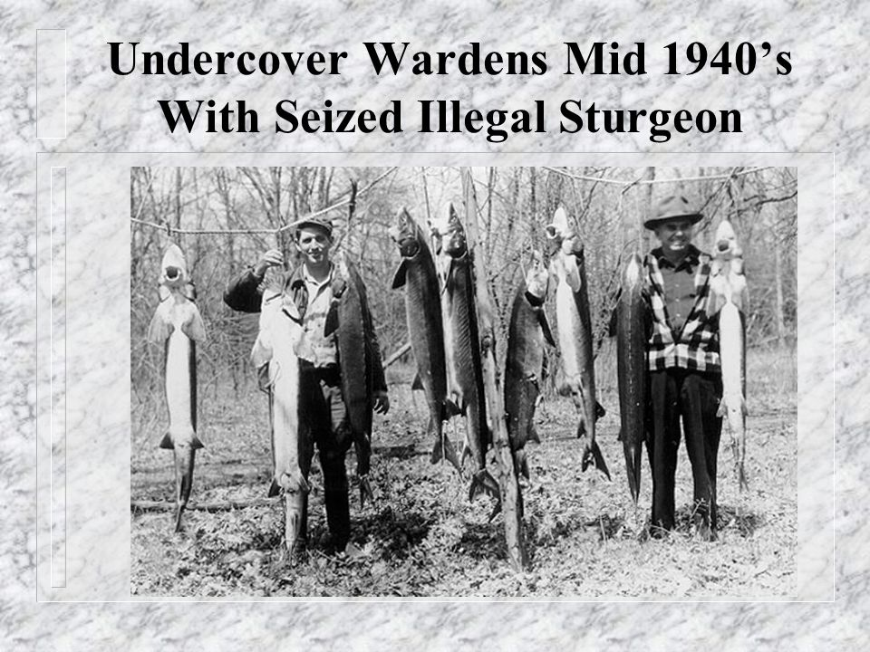 Undercover Wardens Mid 1940's With Seized Illegal Sturgeon