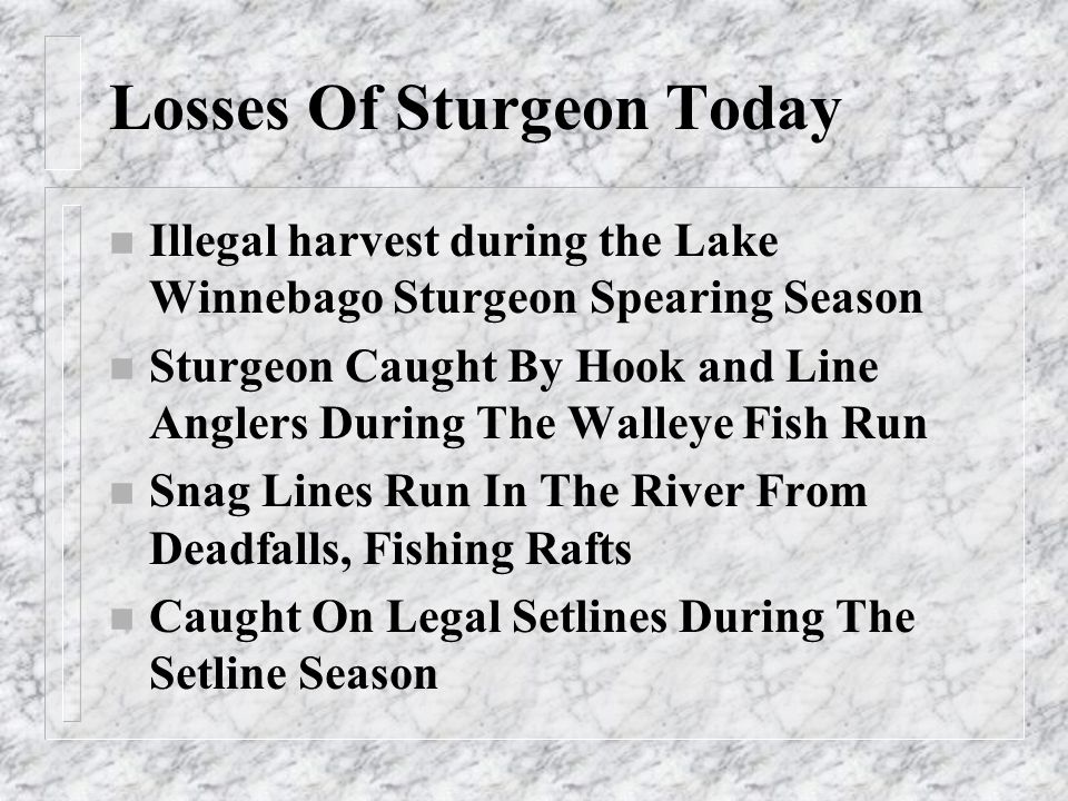 Losses Of Sturgeon Today n Illegal harvest during the Lake Winnebago Sturgeon Spearing Season n Sturgeon Caught By Hook and Line Anglers During The Wa