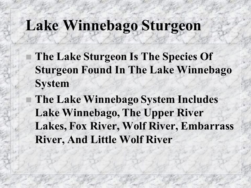 Movements of Lake Sturgeon n The Spawning Population Of Lake Sturgeon Migrate Out Of Lake Winnebago In The Fall Prior To The Spring They Are To Spawn In.