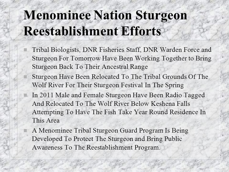 Menominee Nation Sturgeon Reestablishment Efforts n Tribal Biologists, DNR Fisheries Staff, DNR Warden Force and Sturgeon For Tomorrow Have Been Worki