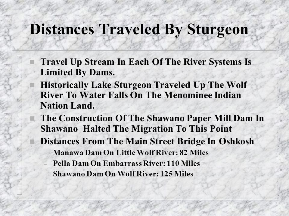 Distances Traveled By Sturgeon n Travel Up Stream In Each Of The River Systems Is Limited By Dams. n Historically Lake Sturgeon Traveled Up The Wolf R