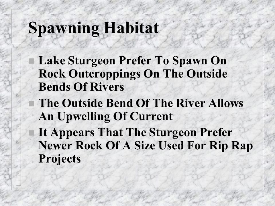 Spawning Habitat n Lake Sturgeon Prefer To Spawn On Rock Outcroppings On The Outside Bends Of Rivers n The Outside Bend Of The River Allows An Upwelli