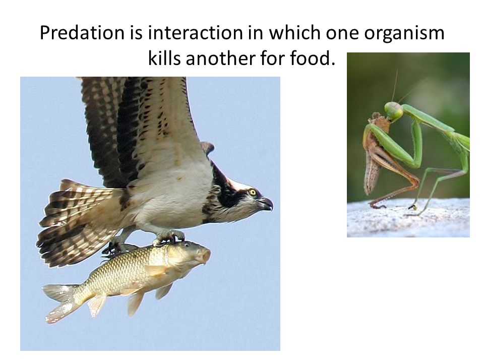 Predation is interaction in which one organism kills another for food.