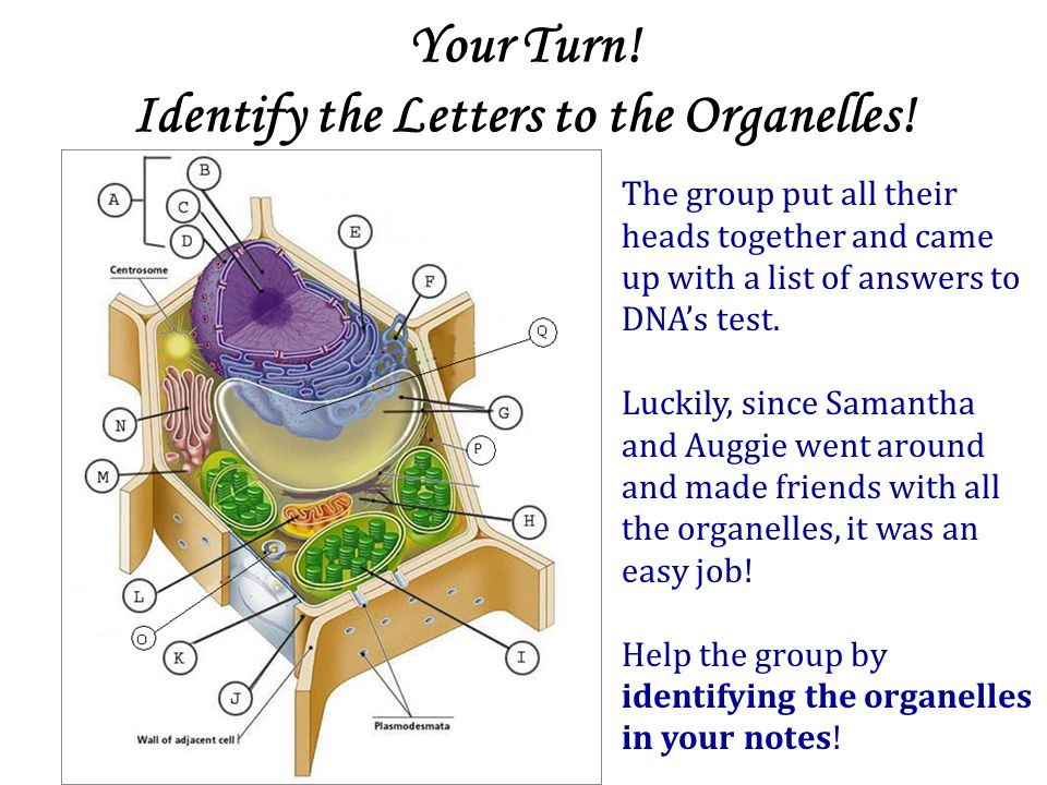 Your Turn.Identify the Letters to the Organelles.