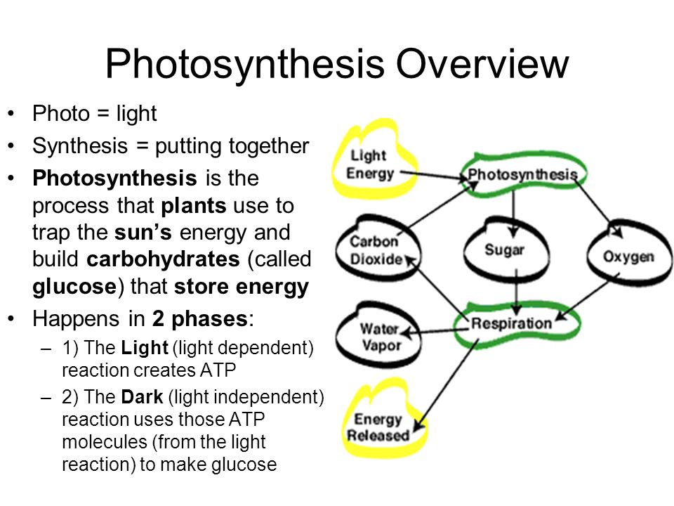 Photosynthesis Overview Photo = light Synthesis = putting together Photosynthesis is the process that plants use to trap the sun's energy and build carbohydrates (called glucose) that store energy Happens in 2 phases: –1) The Light (light dependent) reaction creates ATP –2) The Dark (light independent) reaction uses those ATP molecules (from the light reaction) to make glucose