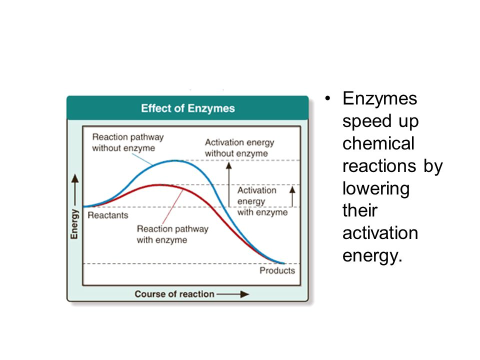 Enzymes speed up chemical reactions by lowering their activation energy.