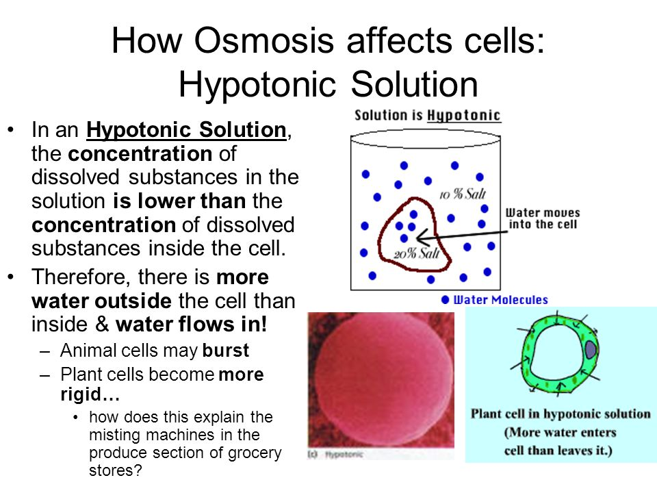 How Osmosis affects cells: Hypotonic Solution In an Hypotonic Solution, the concentration of dissolved substances in the solution is lower than the concentration of dissolved substances inside the cell.