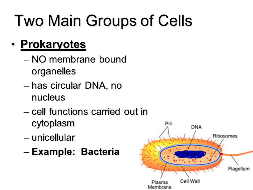 Two Main Groups of Cells ProkaryotesProkaryotes –NO membrane bound organelles –has circular DNA, no nucleus –cell functions carried out in cytoplasm –unicellular –Example: Bacteria