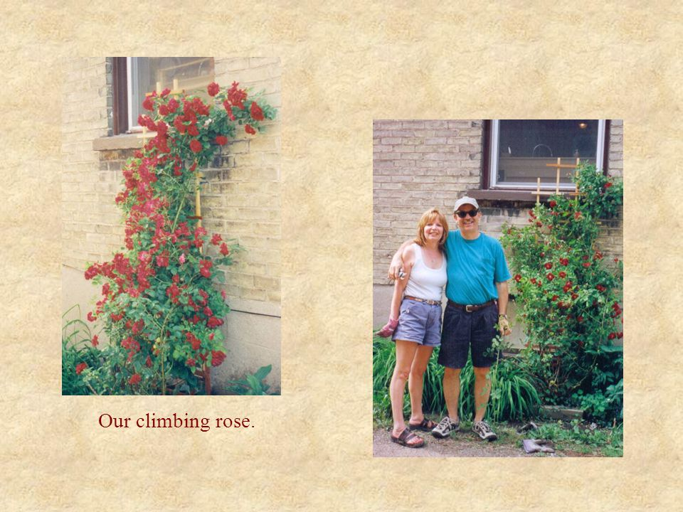 Our climbing rose.