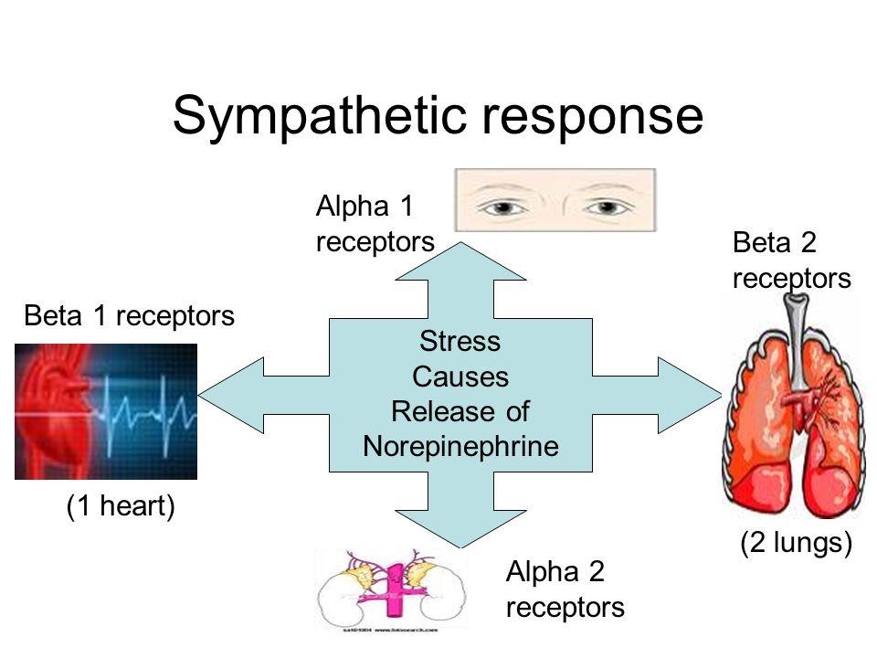 Sympathetic response Stress Causes Release of Norepinephrine Beta 1 receptors Alpha 2 receptors Beta 2 receptors Alpha 1 receptors (1 heart) (2 lungs)