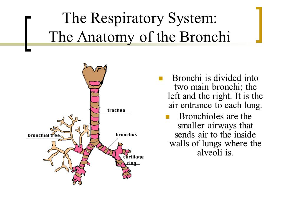 The Respiratory System: The Anatomy of the Bronchi Bronchi is divided into two main bronchi; the left and the right.