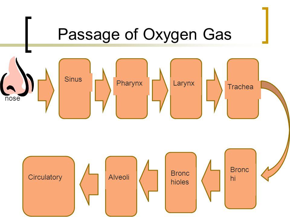 nose Sinus PharynxLarynx Trachea Bronc hi Bronc hioles AlveoliCirculatory Passage of Oxygen Gas