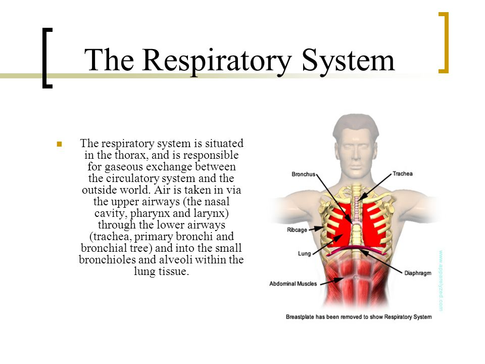 The Respiratory System The respiratory system is situated in the thorax, and is responsible for gaseous exchange between the circulatory system and the outside world.