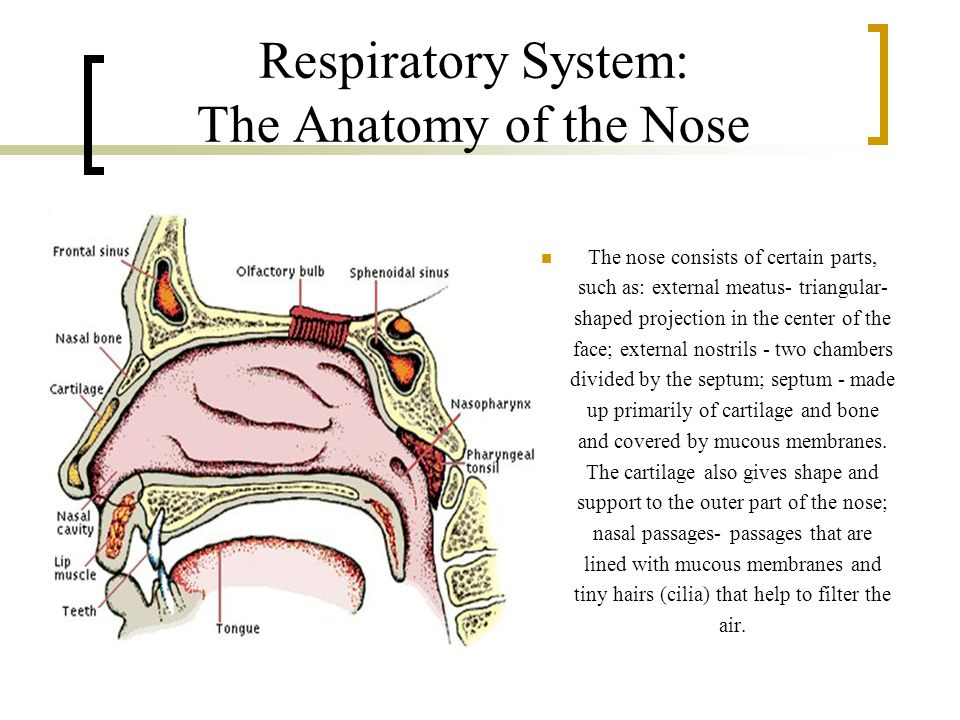 Respiratory System: The Anatomy of the Nose The nose consists of certain parts, such as: external meatus- triangular- shaped projection in the center of the face; external nostrils - two chambers divided by the septum; septum - made up primarily of cartilage and bone and covered by mucous membranes.
