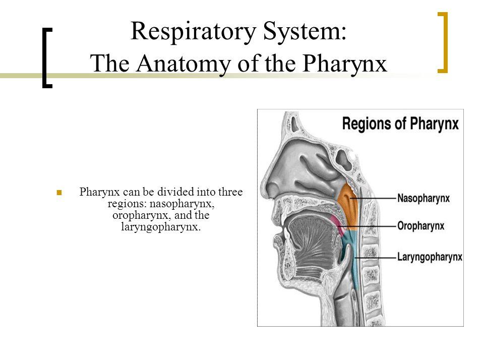 Respiratory System: The Anatomy of the Pharynx Pharynx can be divided into three regions: nasopharynx, oropharynx, and the laryngopharynx.