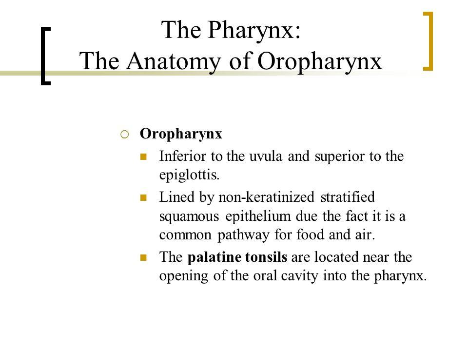 The Pharynx: The Anatomy of Oropharynx  Oropharynx Inferior to the uvula and superior to the epiglottis.