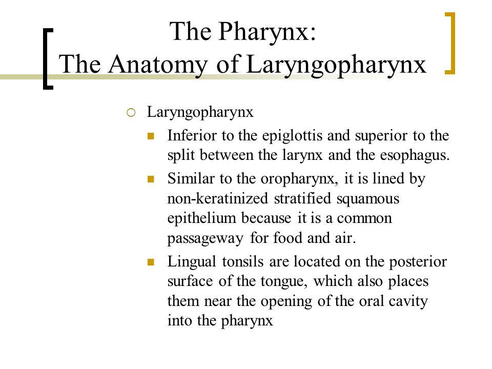 The Pharynx: The Anatomy of Laryngopharynx  Laryngopharynx Inferior to the epiglottis and superior to the split between the larynx and the esophagus.
