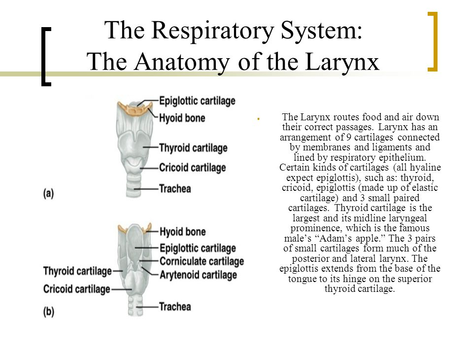 The Respiratory System: The Anatomy of the Larynx The Larynx routes food and air down their correct passages.