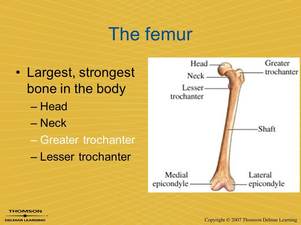 The femur Largest, strongest bone in the body –Head –Neck –Greater trochanter –Lesser trochanter