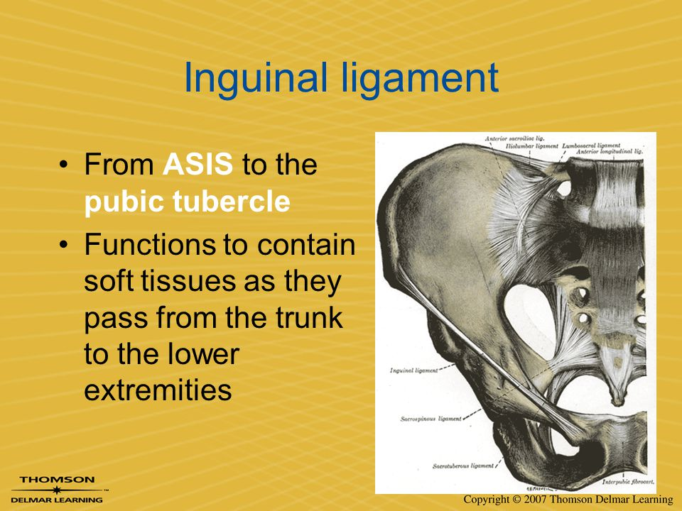 Inguinal ligament From ASIS to the pubic tubercle Functions to contain soft tissues as they pass from the trunk to the lower extremities