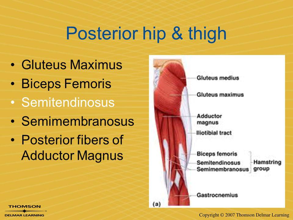 Posterior hip & thigh Gluteus Maximus Biceps Femoris Semitendinosus Semimembranosus Posterior fibers of Adductor Magnus