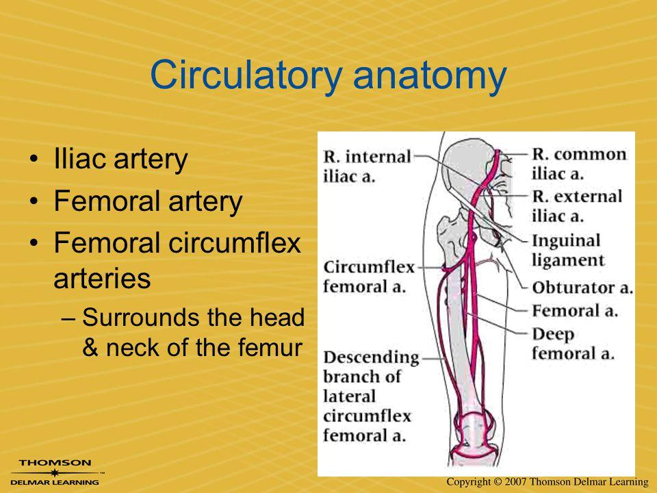 Circulatory anatomy Iliac artery Femoral artery Femoral circumflex arteries –Surrounds the head & neck of the femur