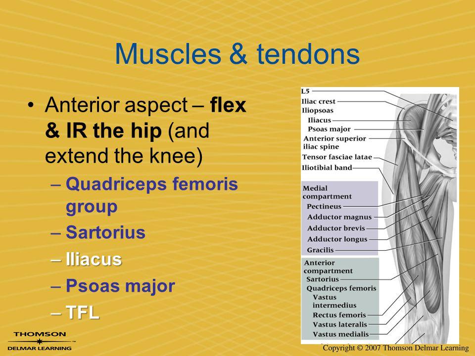 Muscles & tendons Anterior aspect – flex & IR the hip (and extend the knee) –Quadriceps femoris group –Sartorius –Iliacus –Psoas major –TFL