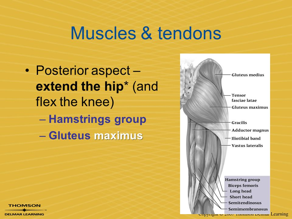 Muscles & tendons Posterior aspect – extend the hip* (and flex the knee) –Hamstrings group maximus –Gluteus maximus