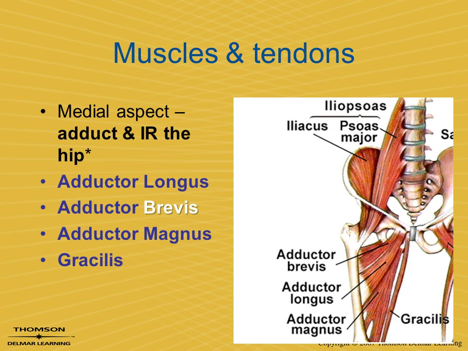 Muscles & tendons Medial aspect – adduct & IR the hip* Adductor Longus BrevisAdductor Brevis Adductor Magnus Gracilis