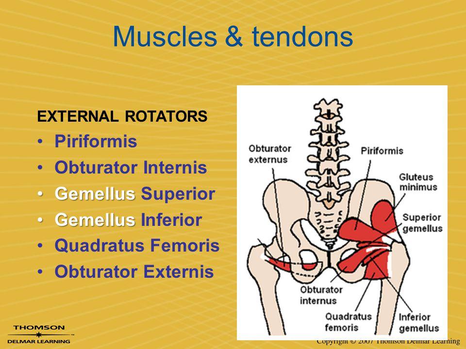 Muscles & tendons EXTERNAL ROTATORS Piriformis Obturator Internis GemellusGemellus Superior GemellusGemellus Inferior Quadratus Femoris Obturator Exte