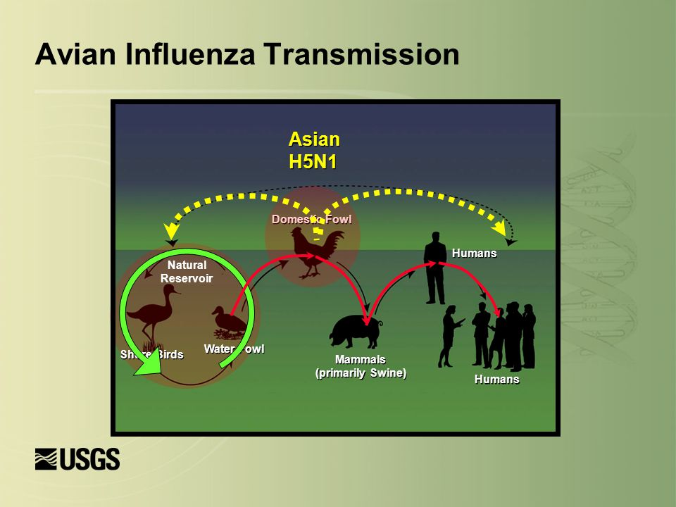 Avian Influenza Transmission Asian H5N1 Water Fowl Shore Birds Natural Reservoir Mammals (primarily Swine) Mammals (primarily Swine) Humans Domestic Fowl
