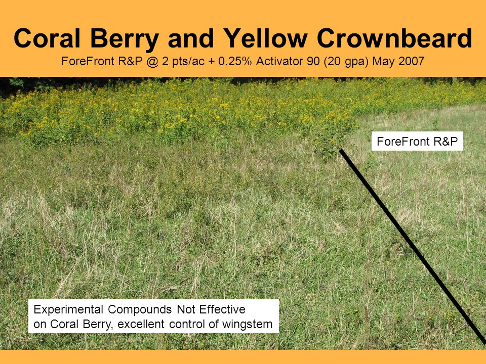 Coral Berry and Yellow Crownbeard ForeFront R&P @ 2 pts/ac + 0.25% Activator 90 (20 gpa) May 2007 ForeFront R&P Experimental Compounds Not Effective on Coral Berry, excellent control of wingstem